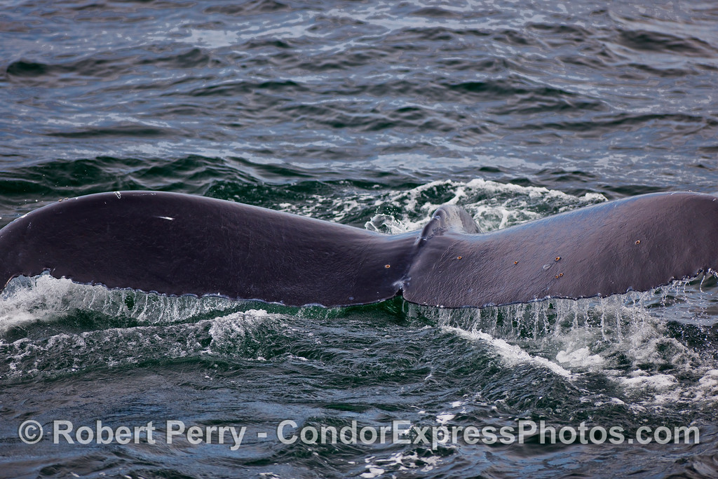 A close look at the powerful tail flukes of a Humpback Whale (Megaptera novaeangliae).