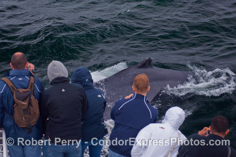 This friendly Humpback Whale (Megaptera novaeangliae) aimed directly at the boat, then dove under it close enough for the whalers on board to get great close up pics with their cell phones.