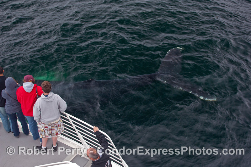 Some of the whalers on board the Condor Express today will have some unique TALES to tell about Humpback Whales (Megaptera novaeangliae).