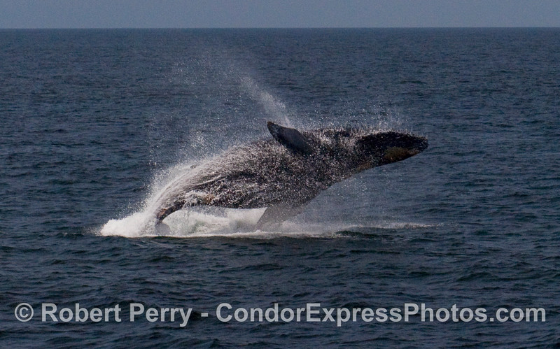 A feisty Humpback Whale (Megaptera novaeangliae) breaches near the Condor Express.  Image 2 of 4.