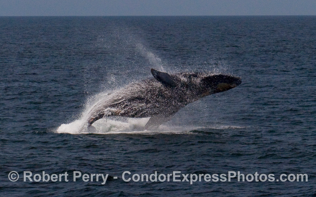 A feisty Humpback Whale (Megaptera novaeangliae) breaches near the Condor Express.  Image 2 of 4.