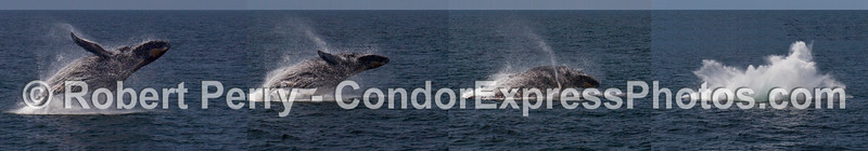 A photo-montage combining all 4 images in this tremendous Humpback Whale (Megaptera novaeangliae) breach sequence.  THIS IS NOT ONE NATURAL PHOTO, BUT 4 PUT TOGETHER INTO ONE.
