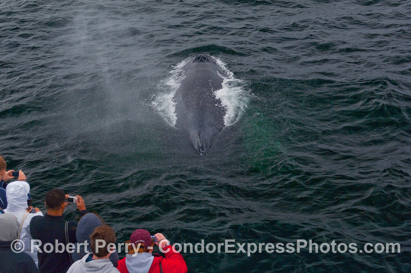 A friendly Humpback Whale (Megaptera novaeangliae) comes up from under the boat and sprays the whalers on board the Condor Express.