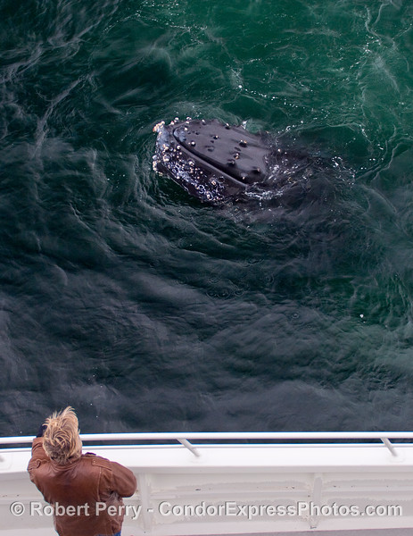 The lady and her whale.  A personal  encounter with a friendly Humpback Whale (Megaptera novaeangliae) on board the Condor Express.