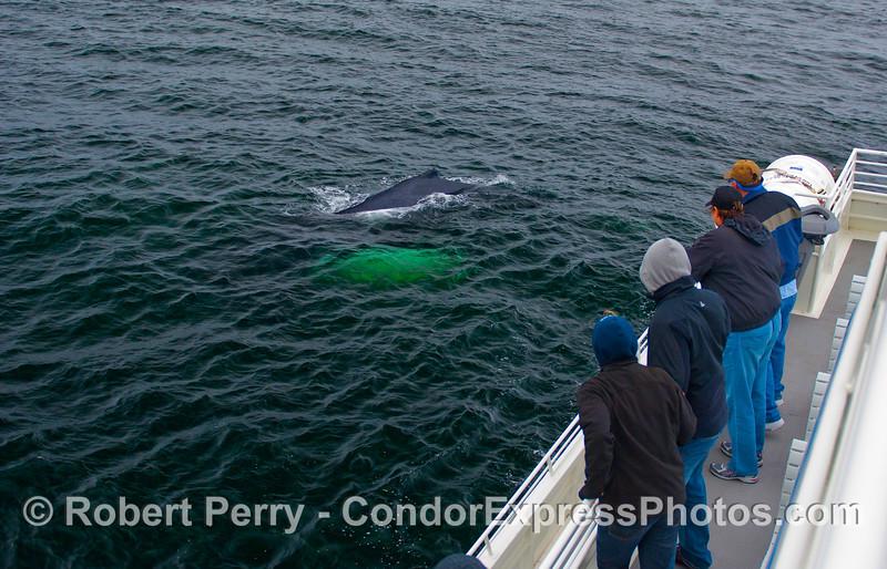 A Humpback Whale (Megaptera novaeangliae) comes alongside the Condor Express for a friendly visit.