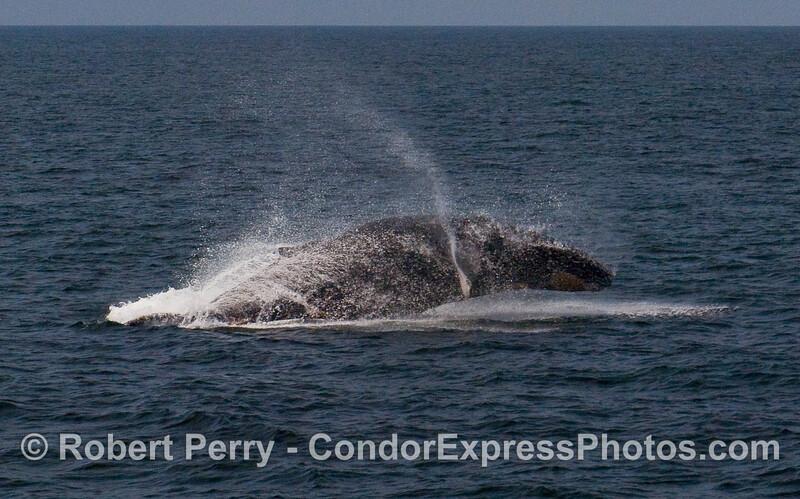 A feisty Humpback Whale (Megaptera novaeangliae) breaches near the Condor Express.  Image 3 of 4.