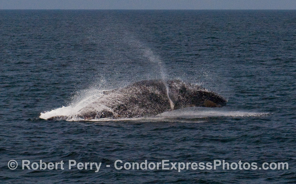 A feisty Humpback Whale (Megaptera novaeangliae) breaches near the Condor Express.  Image 3 of 4.