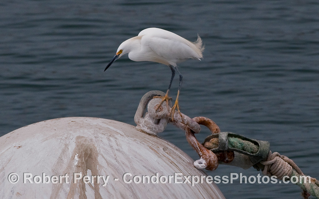 A Snowy Egret (Egretta thula) rests atop a mooring float in Santa Barbara Harbor.