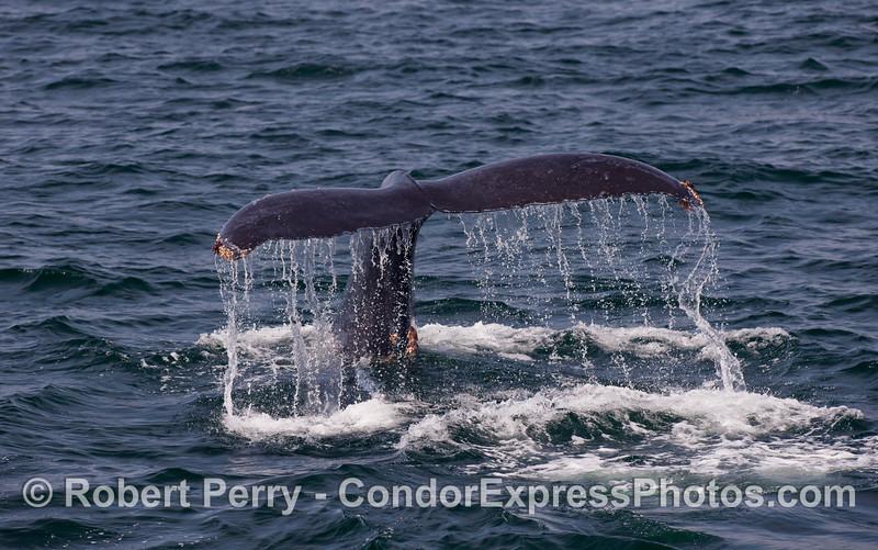 A tail fluke waterfall -- Humpback Whale (Megaptera novaeangliae).