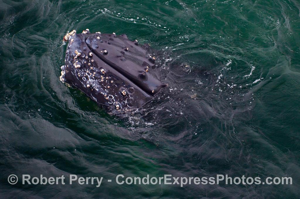 Portrait of a Humpback Whale (Megaptera novaeangliae).
