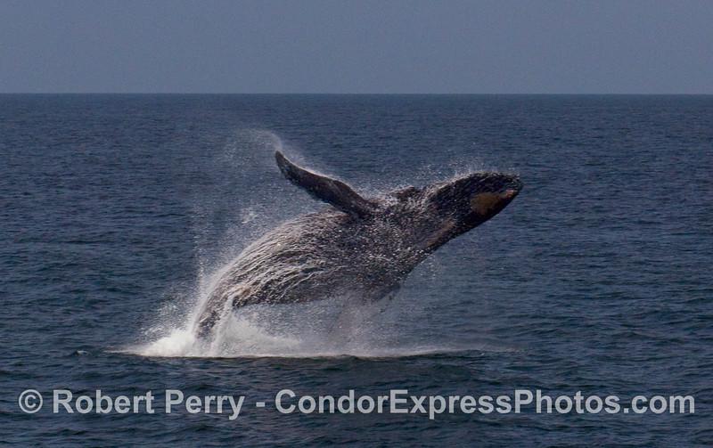 A feisty Humpback Whale (Megaptera novaeangliae) breaches near the Condor Express.  Image 1 of 4.