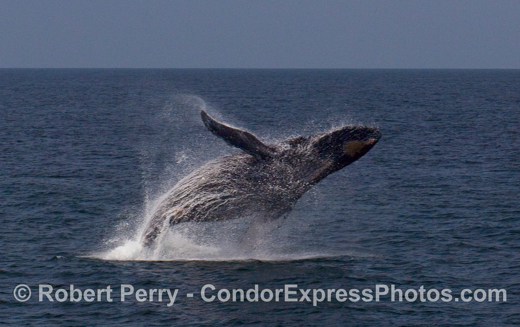 A feisty Humpback Whale (Megaptera novaeangliae) breaches near the Condor Express.  Image 1 of 4.