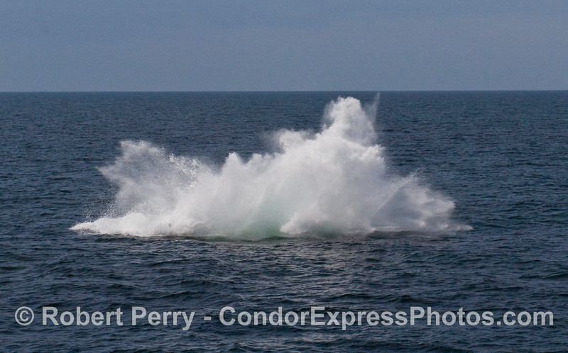 A feisty Humpback Whale (Megaptera novaeangliae) breaches near the Condor Express.  Image 4 of 4.