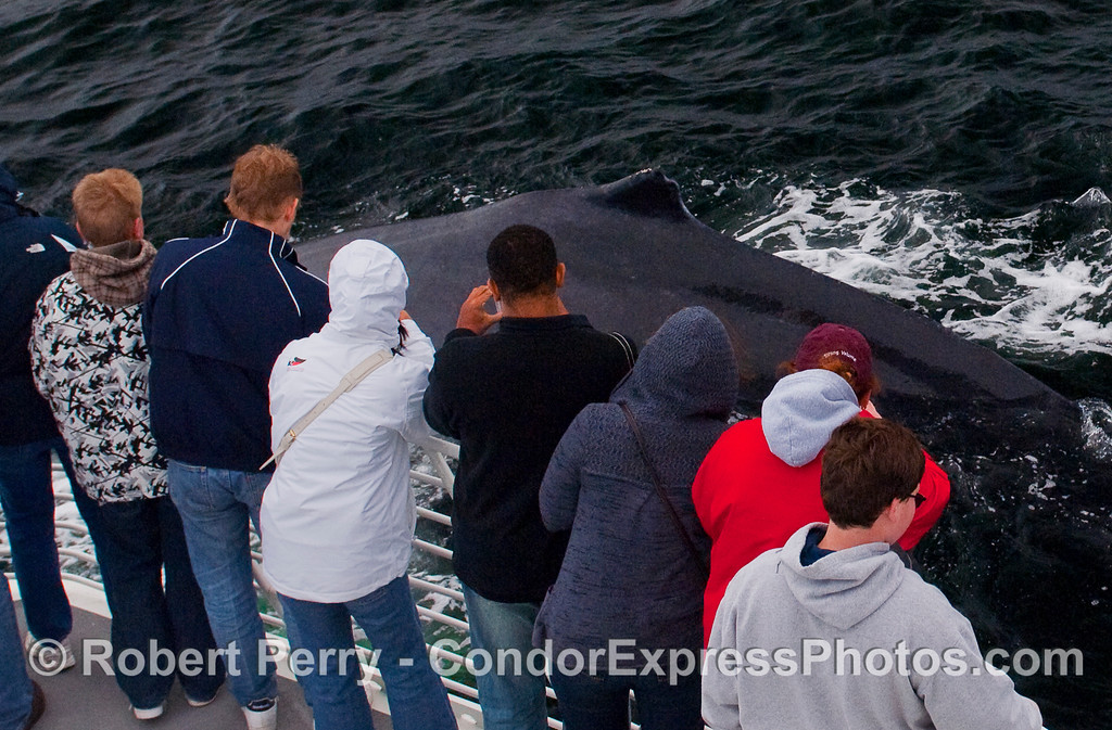 Another great digital photography moment for the whalers on board the Condor Express as a friendly Humpback Whale (Megaptera novaeangliae) passes by within arms reach.