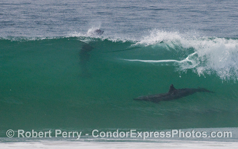 Two Bottlenose Dolphins (Tursiops truncatus) on a glassy wave....the top one heads out the back door leaving a bright slash across the wave.