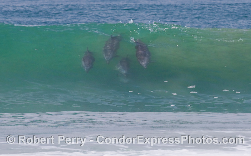 Four Bottlenose Dolphins (Tursiops truncatus) join a rideshare program.  This is the cropped, detailed view and the next image is a full frame, wide view.