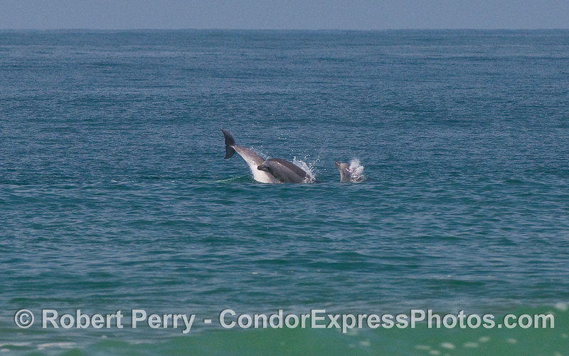 Bottlenose Dolphins (Tursiops truncatus) playing.