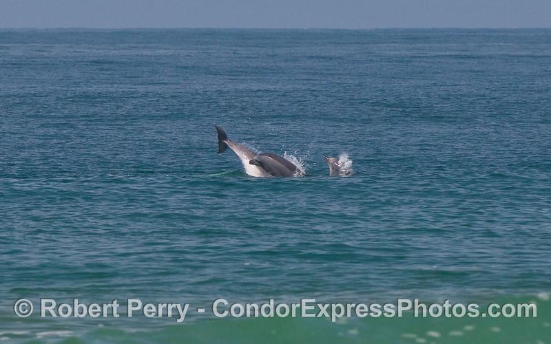Bottlenose Dolphins (Tursiops truncatus) playing.