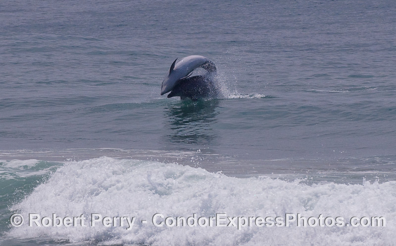 Bottlenose Dolphins (Tursiops truncatus) playing leap frog.