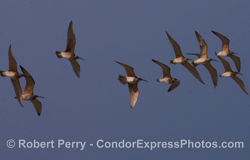 A flock of Whimbrels (Numenius phaeopus) flys over head.