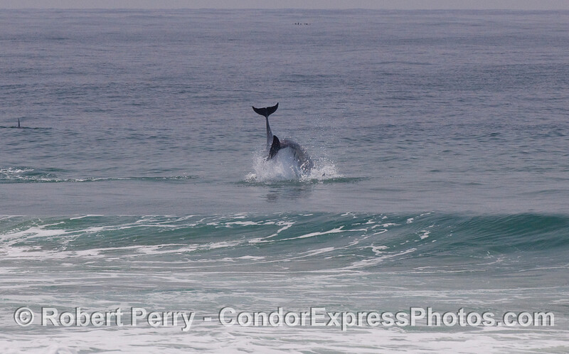 Twin tail flukes in the surf zone - Bottlenose Dolphins (Tursiops truncatus).