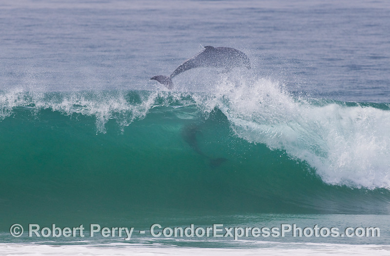 Two Bottlenose Dolphins (Tursiops truncatus) play in the surf.  The first dolphin is now airborne, and the second is still in the wave and getting ready to get out the back door.