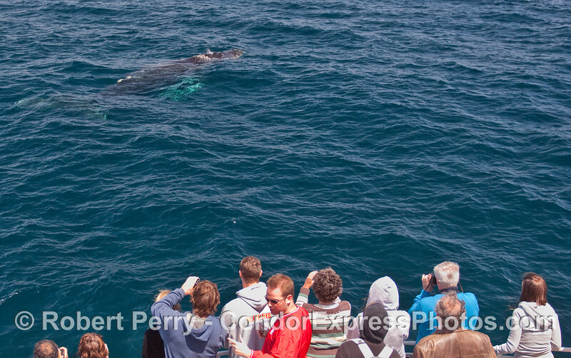 Whalers on board the Condor Express get a great close look at a friendly Humpback Whale (Megaptera novaeangliae).