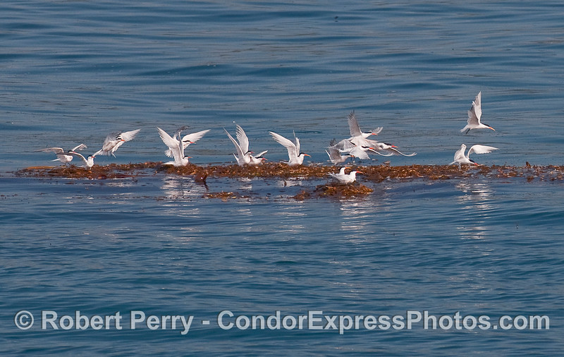 A flock of Elegant Terns (Sterna elegans) takes off from a Giant Kelp paddy (Macrocystis pyrifera).