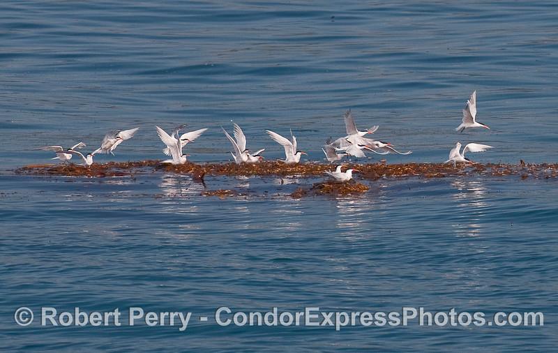 A flock of Elegant Terns (Sterna elegans) takes off from a Giant Kelp paddy (Macrocystis pyrifera).