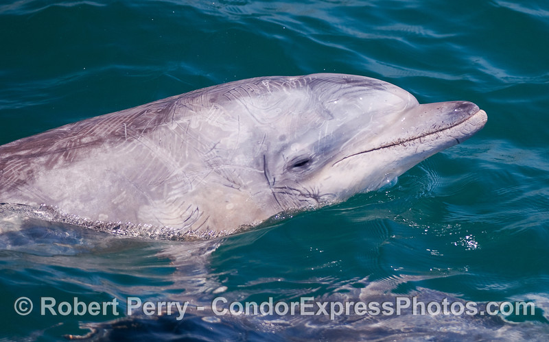 A close look at the head of a Bottlenose Dolphin (Tursiops truncatus) with lots of scars and scrapes.