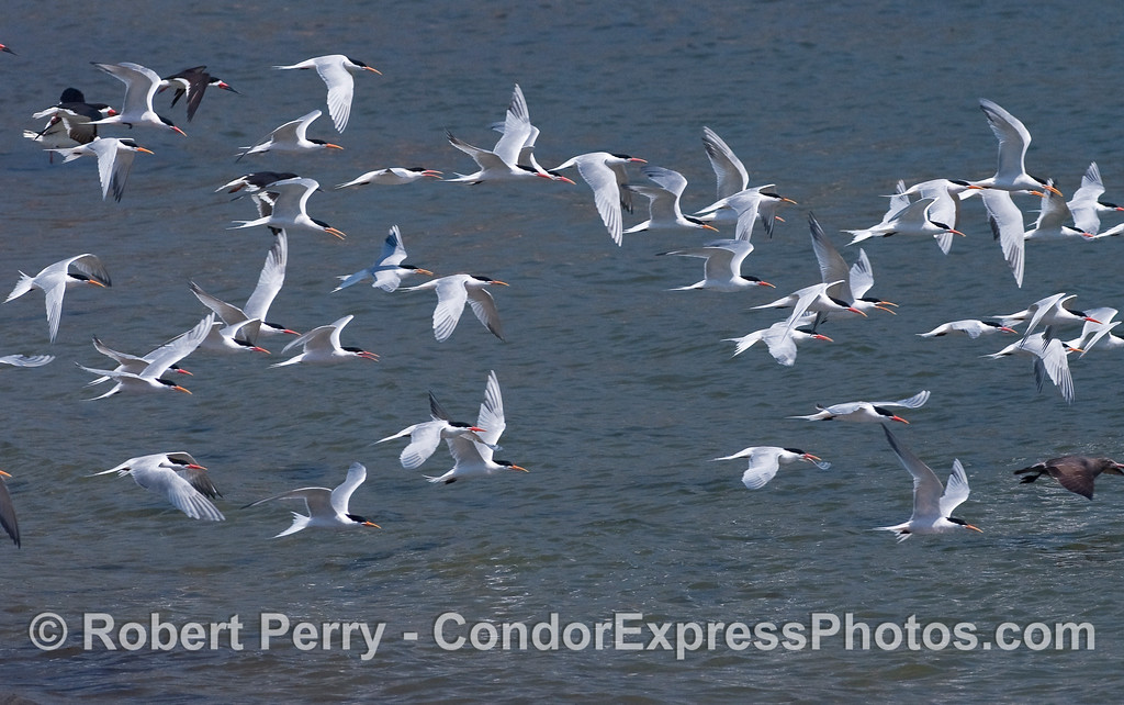 Elegant Terns (Sterna elegans) in flight with a couple of Black Skimmers (Rhynchops niger) in the background, upper left.