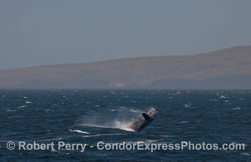75,000 pounds of airborn whale flesh.  Santa Cruz Island is in the background.
