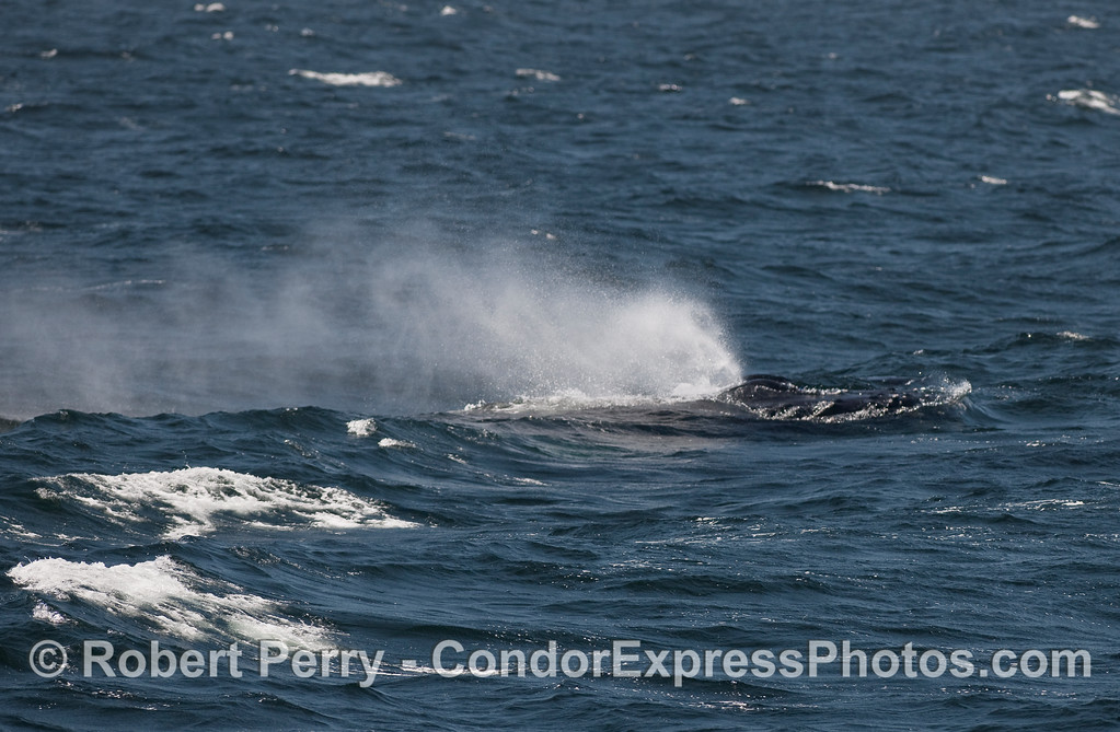 Smoke from the twin exhaust pipes of an adult Humpback Whale heading into gale force winds.