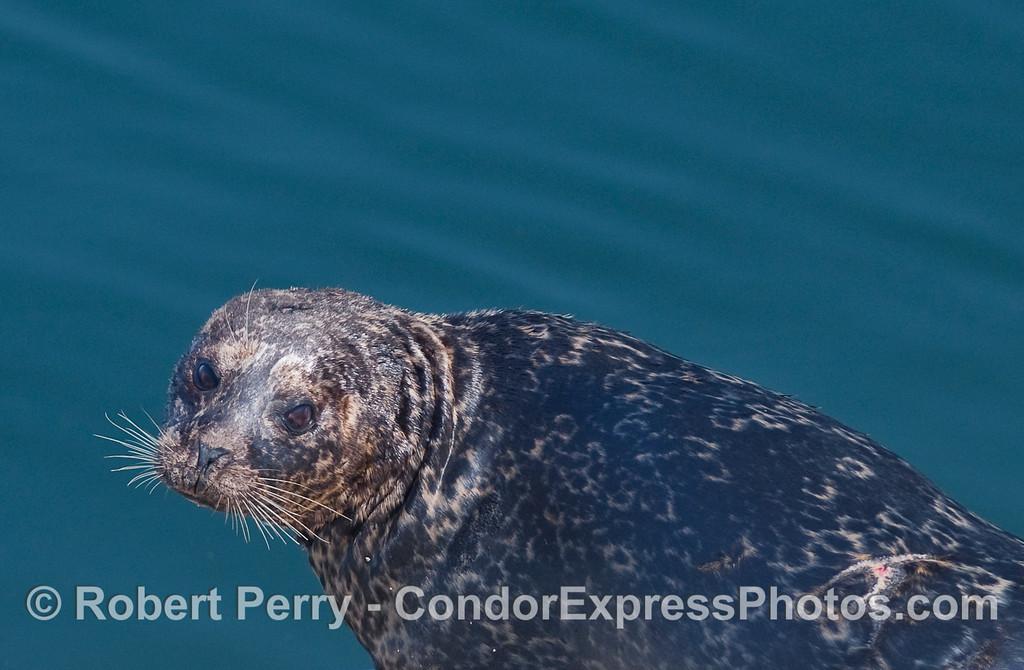 Pacific Harbor Seal (Phoca vitulina).