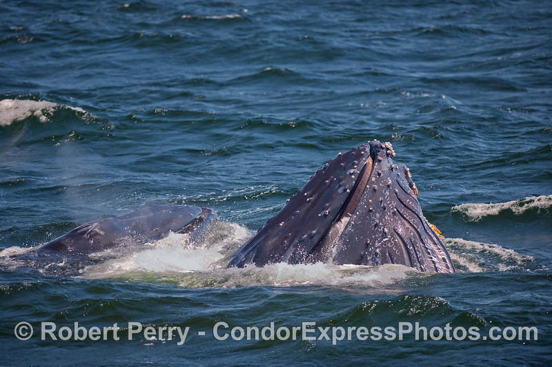 Two Humpbacks complete a vertical lunge feeding.