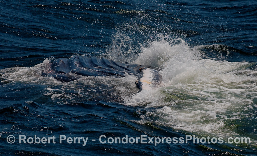 The ventral groove blubber is extended as this Humpback rolls over on its back and slaps its left pectoral fin.
