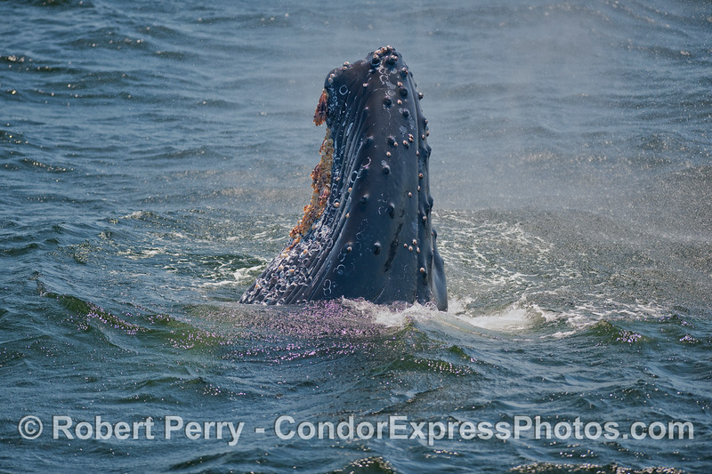 Image 2 of 2:  A spy-hopping Humpback whale surrounded by its spout spray.