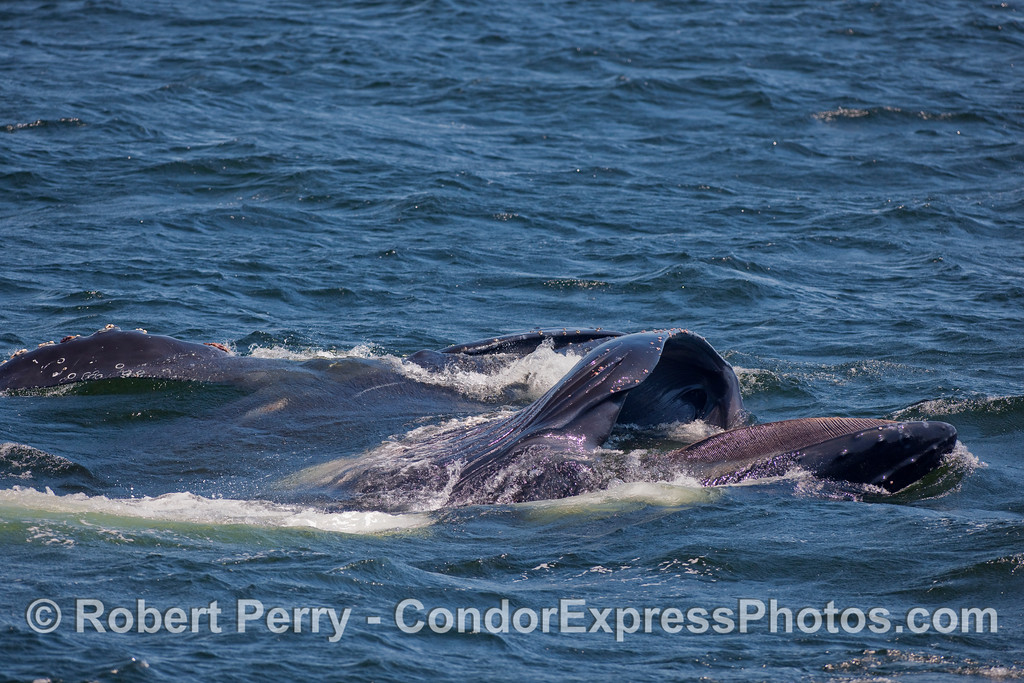 Two lunge feeding Humpbacks, one showing its baleen.