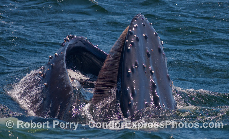 Lunge feeding Humpback Whale (Megaptera novaengliae) takes a gulp of krill (Thysanoessa spinifera) right next to the Condor Express.