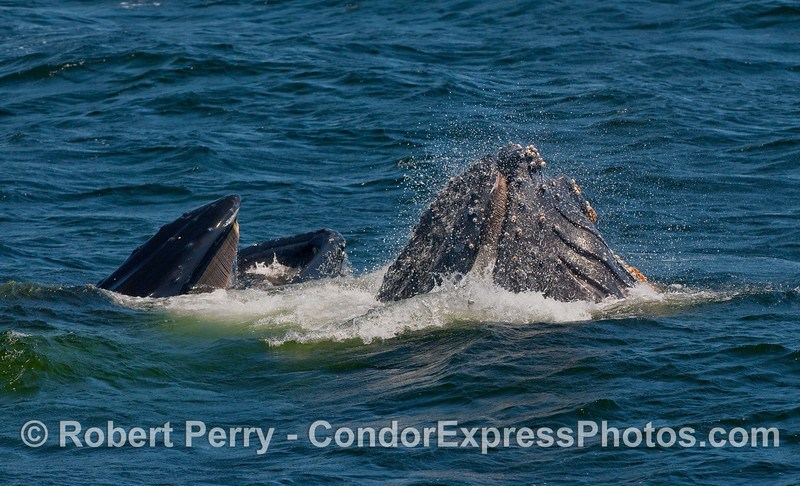 Two vertical lunge feeding Humpbacks.