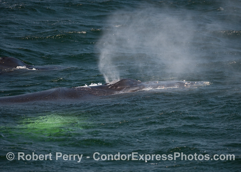 Image 1 of 2:  Close look at the head and pectoral fin of a Humpback.