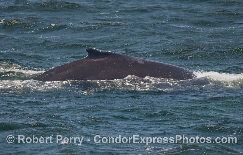 Right side view of dorsal fin and flanks of a Humpback.