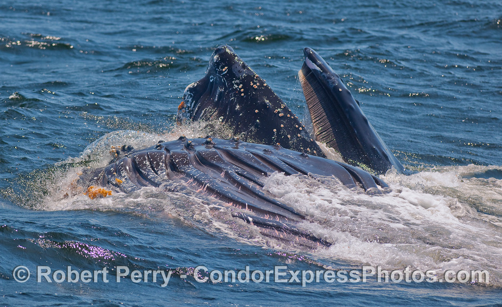 Two lunge feeding Humpbacks.  One showing its baleen plates, and the other has rolled over on its back to show its ventral groove blubber and a few orange barnacles on its chin.