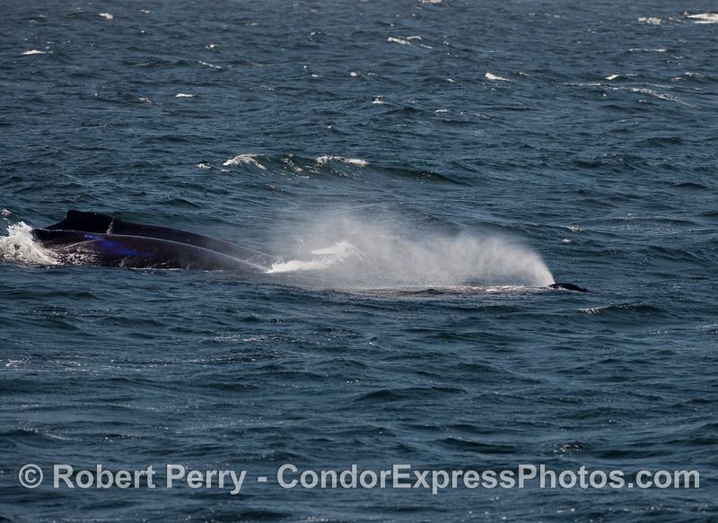 Three Humpbacks heading into the gale.