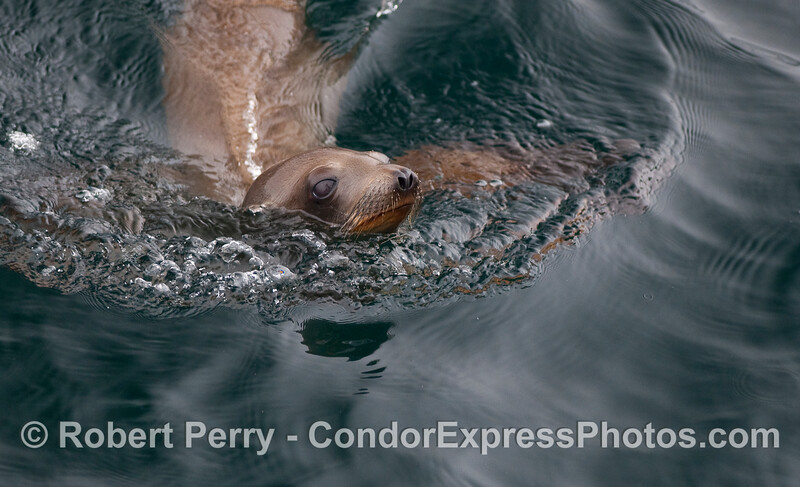 Sea lion pup in the water.
