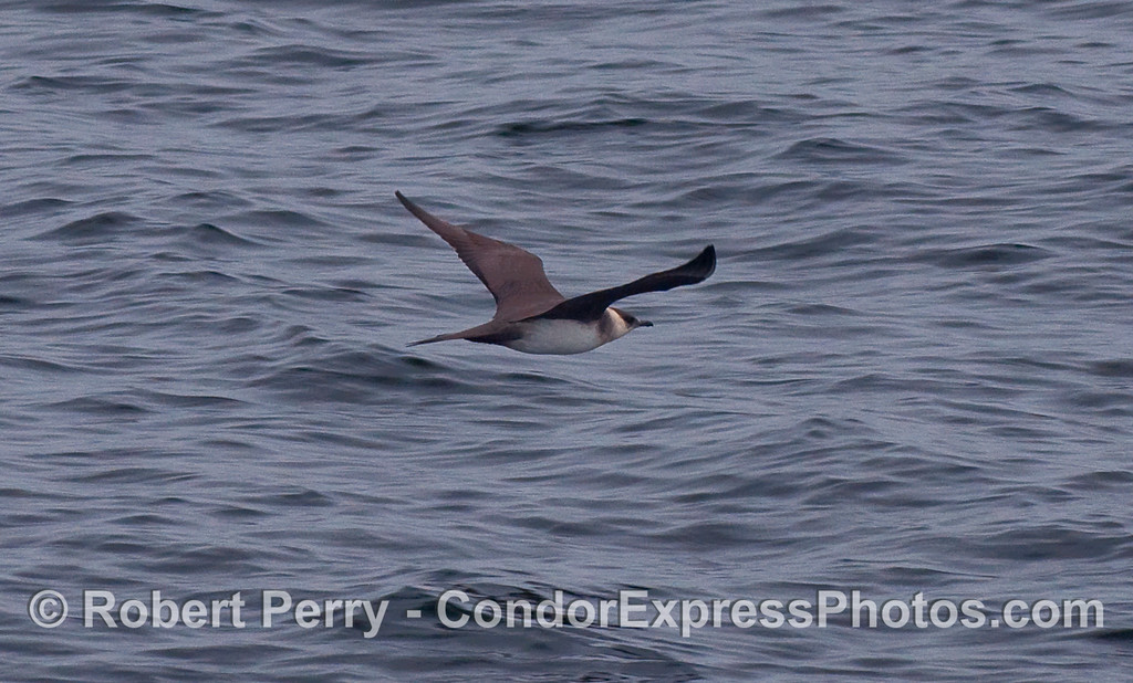 A Pomarine Jaeger (Stercorarius pomarinus) flys in search of its prey.