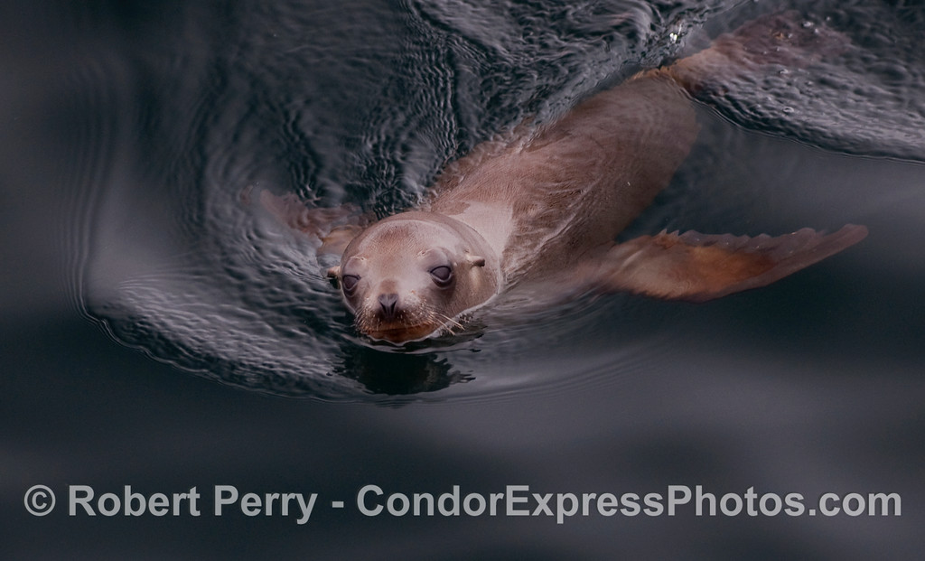 A sea lion pup swims on a glassy surface.