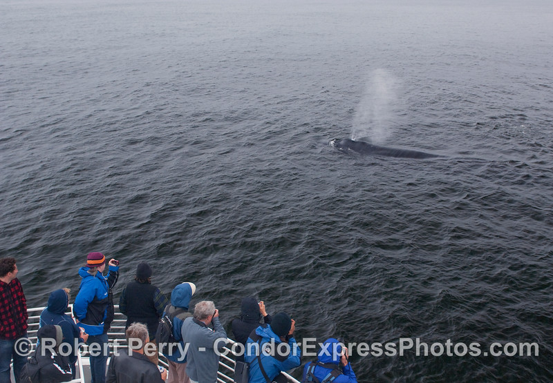 Whalers on board the Condor Express get a close visit by a spouting Humpback.