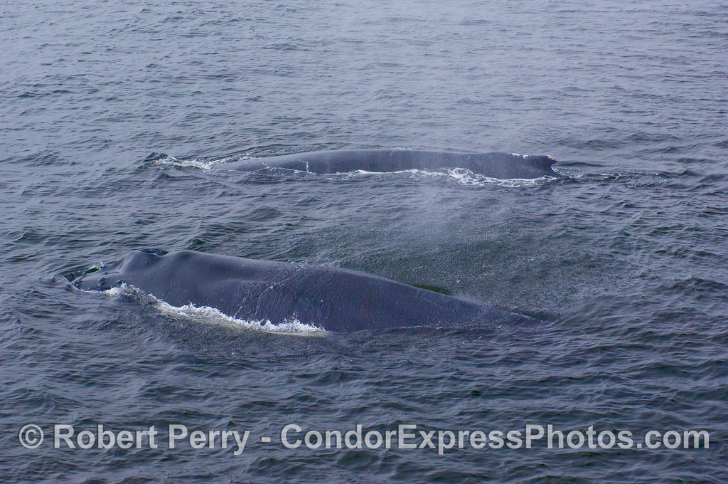 Two adult Humpbacks.