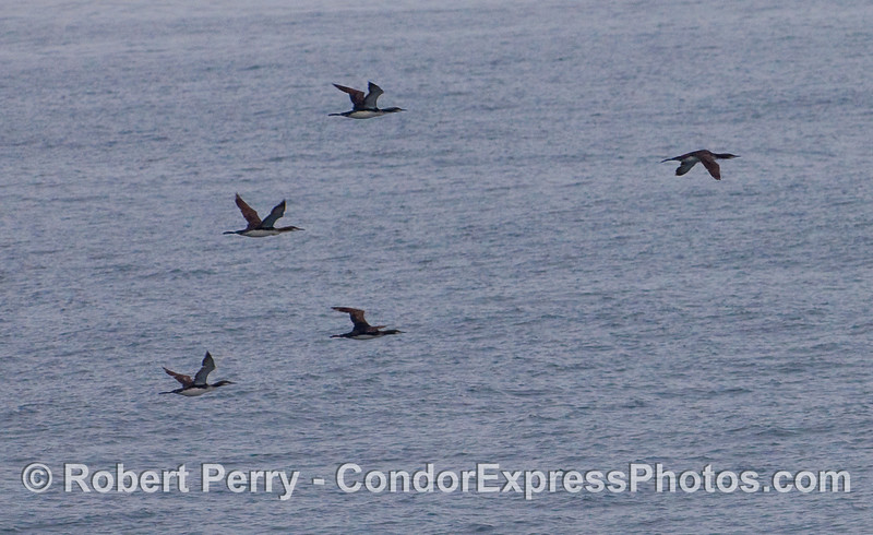 Pacific loons (Gavia pacifica) in flight.